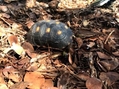 Red-legged Tortoise (Photo by Jeff Gerbracht)