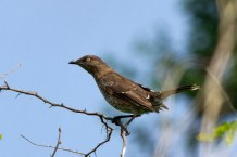 Scaly-breasted Thrasher, one of three observed together (Photo by Jeff Gerbracht)