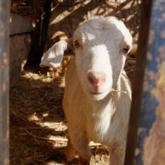 Süße Ziege in Turpan