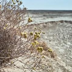 Wüstenblume