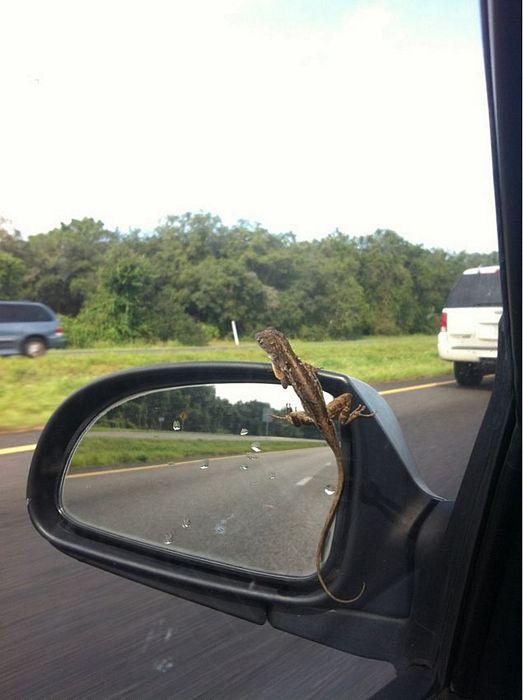 Hitchhiker lizard