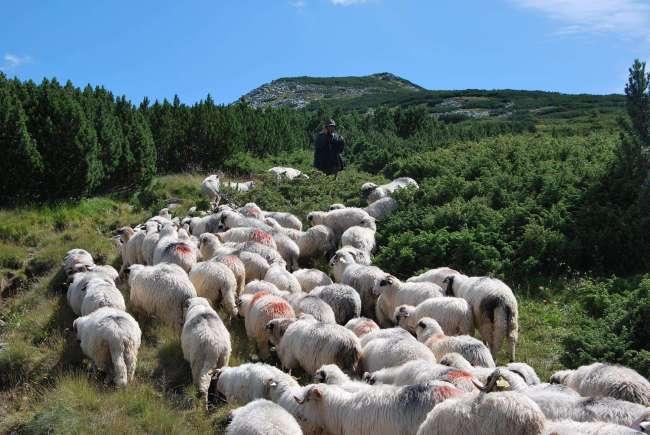 Doi ciobani brașoveni, în topul subvențiilor primite pentru ovine