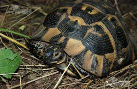 La o pensiune din Brașov, pentru distracția turiștilor, erau ținute captive două broaște țestoase dobrogene care sunt protejate prin lege
