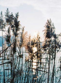 Roseaux du lac d'Annecy