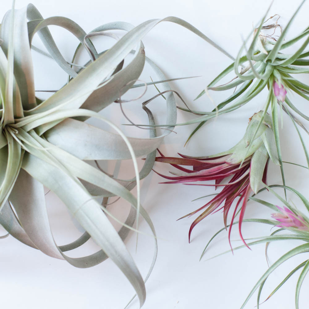 How to Care For Air Plants   Gather Goods Co