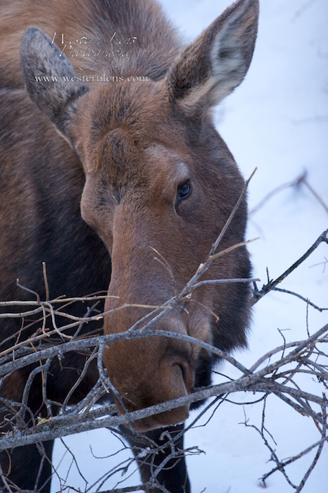Female mother moose eating alder trees