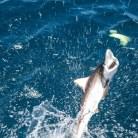 Thrashing shark