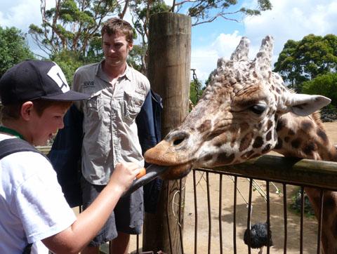Auckland giraffe Zabulu
