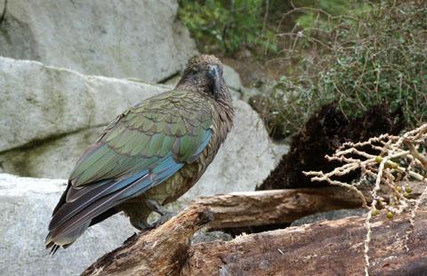 Auckland Zoo kea