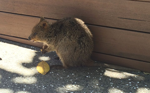 Quokker and leaf