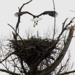 Nelson : Massies Mill : Beautiful Shot Of Bald Eagles By BRL Reader