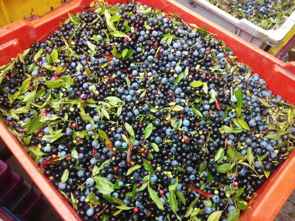 Antioxidant-rich blueberry leaves provide structure to the wine