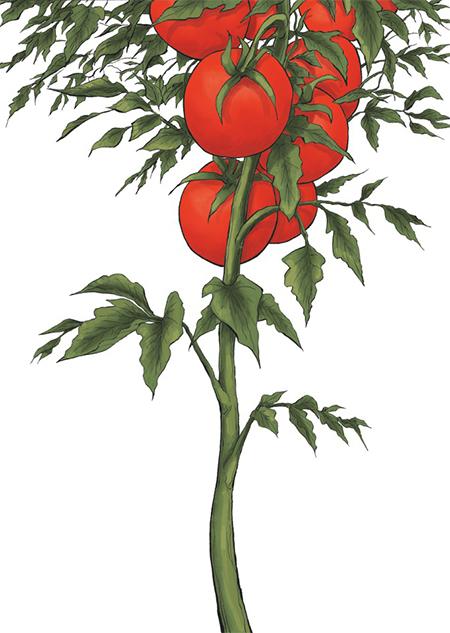 La tomate 1