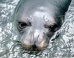 Mediterranean Monk Seal Close Up
