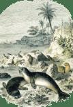 Mediterranean Monk Seals basking on the rocks