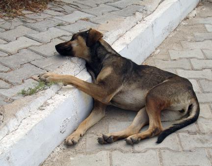 Bodrum Peninsula Street Dog, Turkey