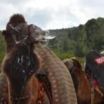 Bodrum Camel Wrestling Event