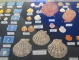 Bodrum Maritime Museum Shell Exhibit Bodrum Turkey