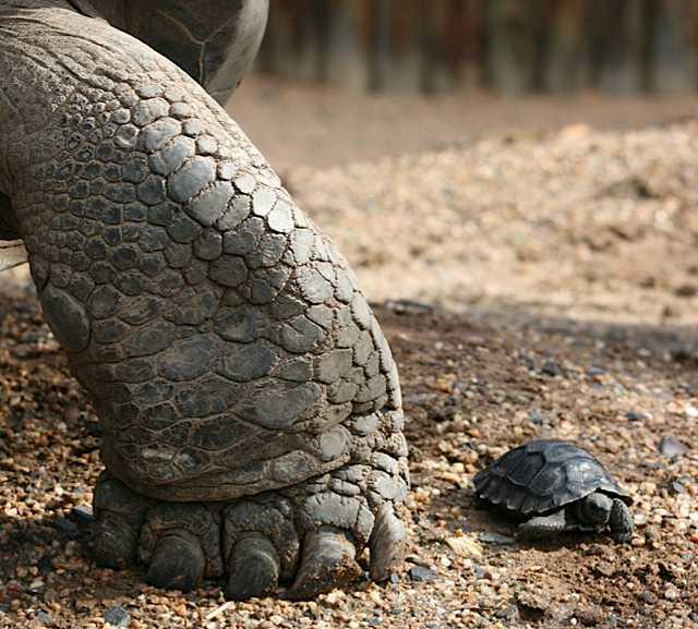 baby giant tortoise.jpg