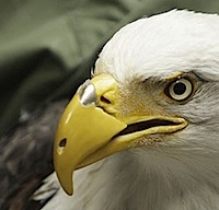 bald-eagle-beak.jpg