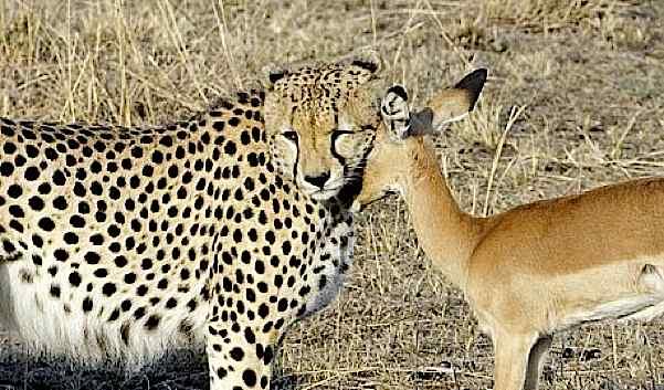 cheetahimpalalove.jpg