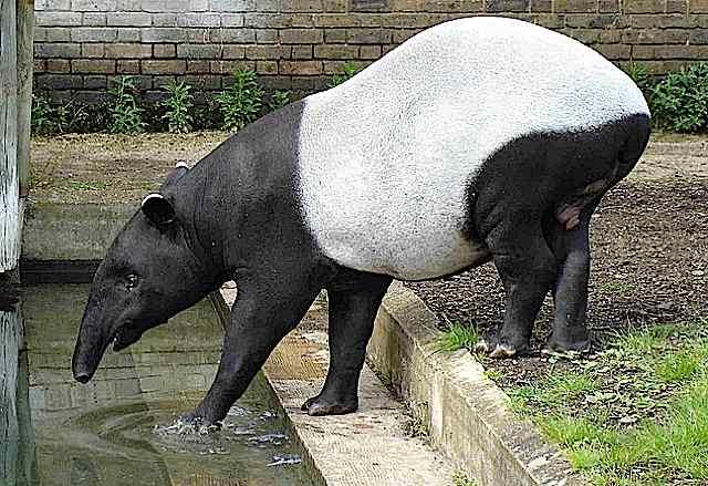 tapirbath.jpg
