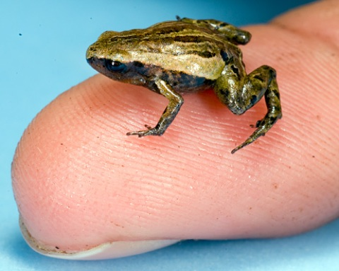 News 2009 03 Photogalleries Smallest-Frog-Pictures Images Primary 090326-01-Smallest-Frog-Pictures Big