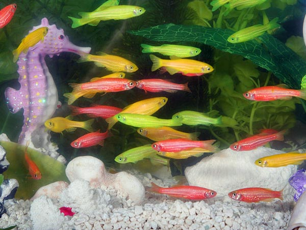 all types of aquarium fish are not lucky. Only certain types of fish