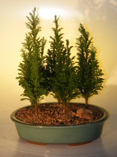 Italian Cypress Evergreen Bonsai Tree Five Tree Forest Group