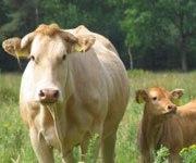 koei en kalf