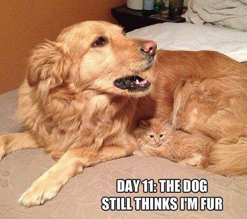 Cat nestled in dog