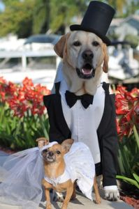 Chihuahua and Labrador