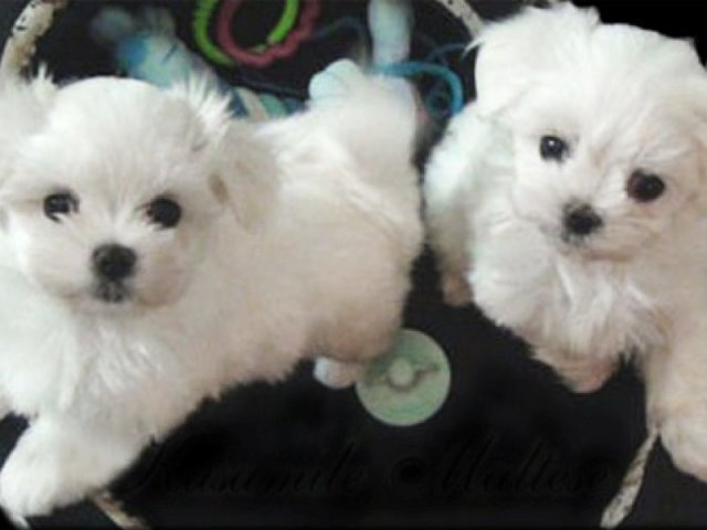 Two Maltese Puppies Available Now | For Sale NSW: Sydney