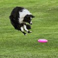 "Mercury has mad jumping skills. Unlike his father Dublin, he has no problems with the ""Border Collie Drag,"" where the dog will jump more vertically aligned with shoulders above the […]"