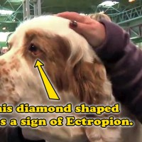 Ectropion and the Failed Crufts Dogs