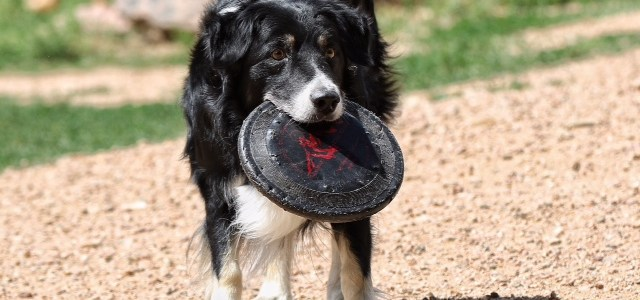 You really don't hear much about Border Collie maulings against humans. One such incident hit the news recently, so I figure that an analysis is in order. It certainly isn't […]