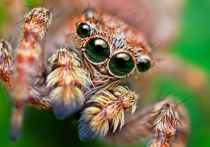 atlama-örümcekler-makro-fotoğraf-thomas-shahan-13