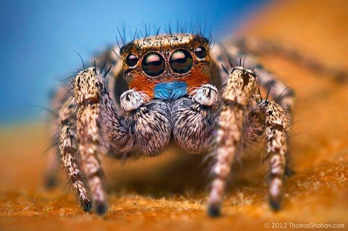 atlama-örümcekler-makro-fotoğraf-thomas-shahan-16