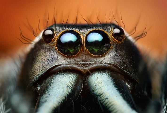 atlama-örümcekler-makro-fotoğraf-thomas-shahan-17