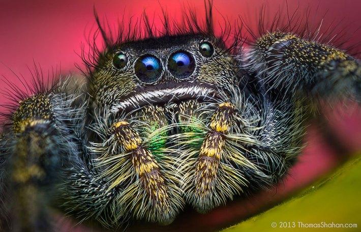 atlama-örümcekler-makro-fotoğraf-thomas-shahan-19