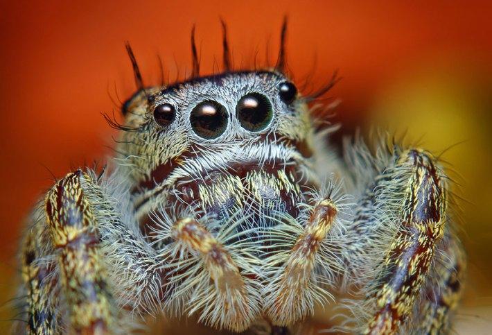 atlama-örümcekler-makro-fotoğraf-thomas-shahan-5