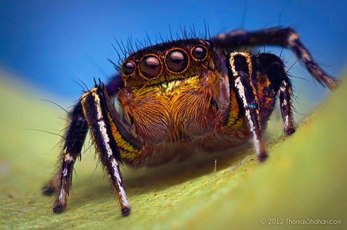 atlama-örümcekler-makro-fotoğraf-thomas-shahan-7