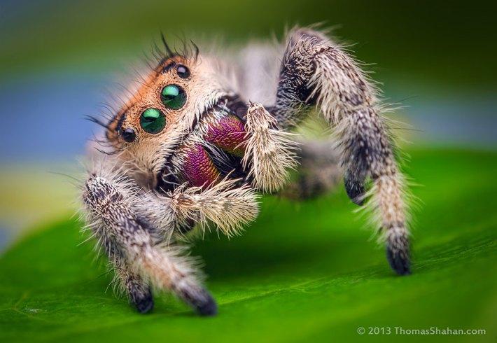 atlama-örümcekler-makro-fotoğraf-thomas-shahan-9