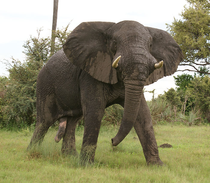 elefante-mata-cazador-ian-gibson (2)
