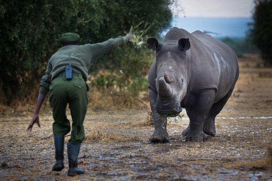 ultimo-rinoceronte-blanco-norte-protegido-kenia (3)