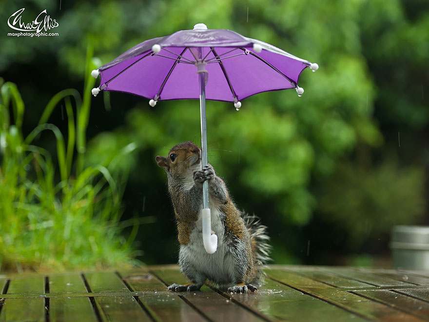 fotos-ardilla-paraguas-lluvia-max-ellis (4)