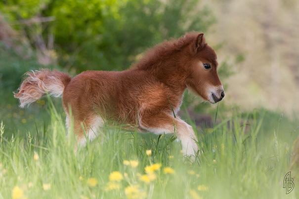 mini-caballos (15)