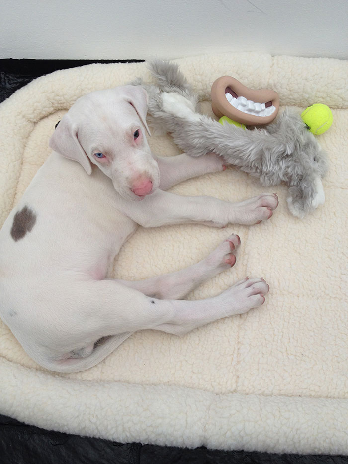 perro-rescatado-pegasus-creciendo-dave-meinert (1)