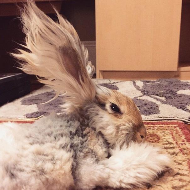 corte-pelo-orejas-conejo-angora-wally (4)