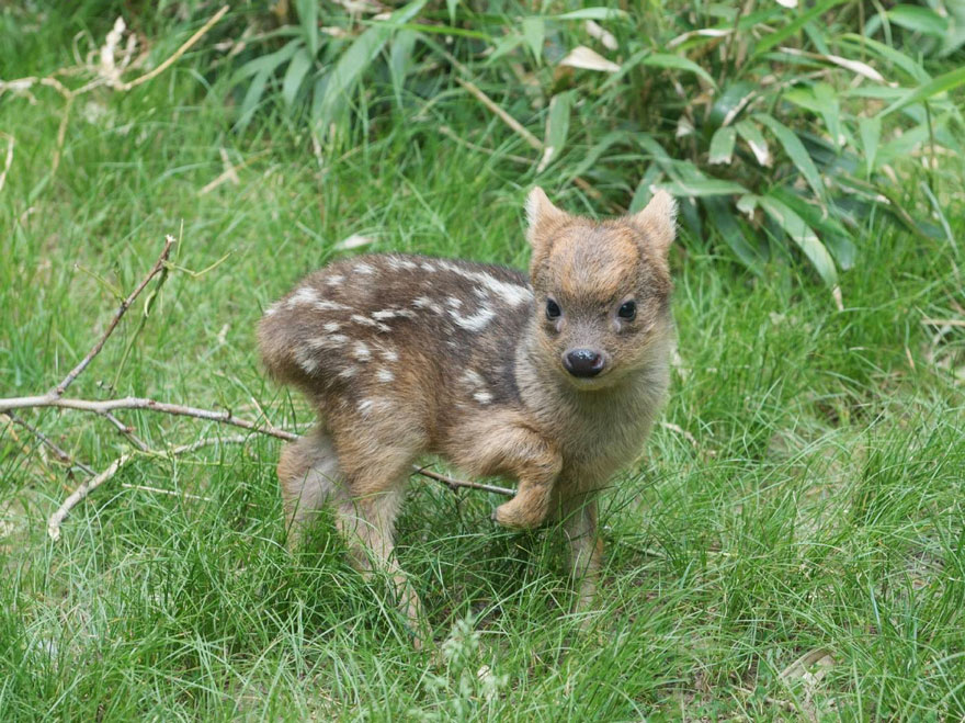 cria-ciervo-pudu-diminuto-zoo-queens (2)